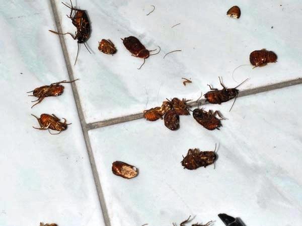 Disinfestazione scarafaggi in casa:qualche consiglio
